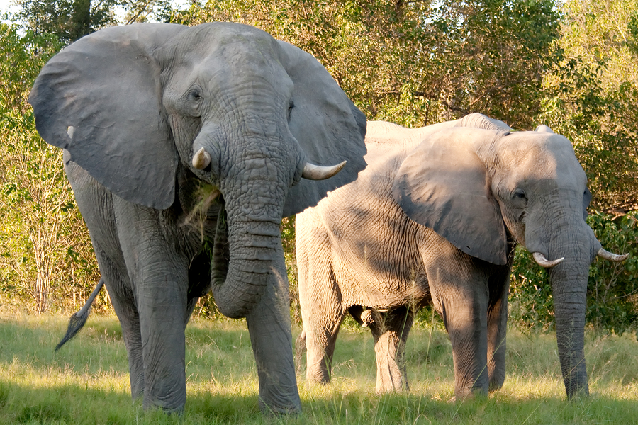 Two African Elephants Eating